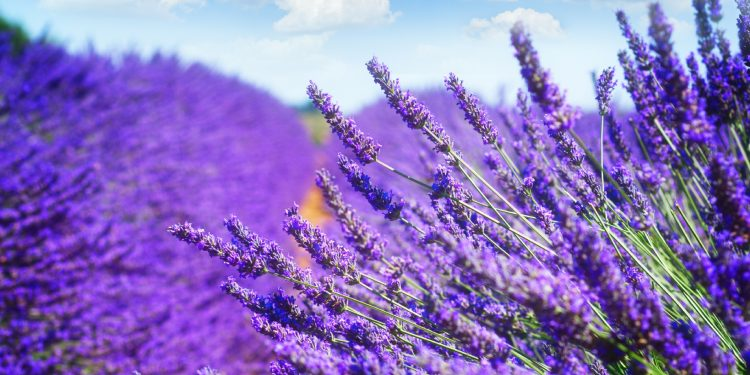 Lavender is natural remedy for insomnia