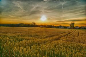 wheat field during sunrise